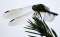 Dragonfly ran-336.jpg