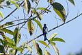 Drongo Cuckoo in Mizoram 2.JPG