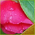 Droplets on Red Flower 2-9-14e (12505325933).jpg