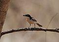 Dryoscopus gambensis (Malaconotidae) (Northern Puffback) - (male), Mole National Park, Ghana.jpg