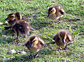 Ducklings in London.jpg