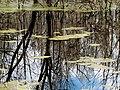 Duckweed Pee Dee NWR NC 5547 (15898495403).jpg