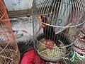 Dusky lory in Jatinegara Market.jpg