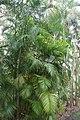 Dypsis lutescens 14zz.jpg