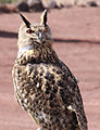 Eagle Owl 2 (3309470258).jpg