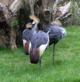 East African grey crowned crane Edinburgh Zoo 2004 SMC.jpg