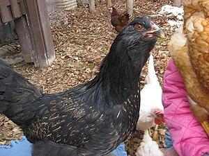Easter Egger - A mostly Black Easter Egger hen