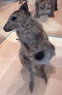 Eastern hare-wallaby Extinct species of marsupial