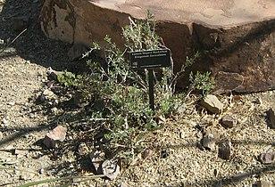 Eastern Mojave Buckwheat.jpg