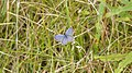 Eastern Tailed-Blue (Cupido comyntas) - Guelph, Ontario 03.jpg
