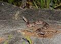 Eastern copperhead - Agkistrodon contortrix (43568376775).jpg