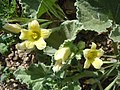 Ecballium elaterium à Monemvasia fleurs.jpg
