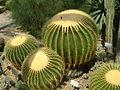 Echinocactus grusonii (2943604283).jpg
