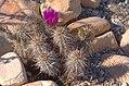 Echinocereus Engelmannii HDR 1.jpg