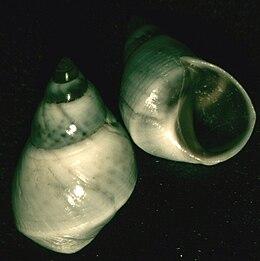 Echinolittorina paytensis 001