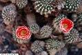Echinopsis formosa 1zz.jpg