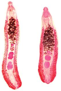 <i>Echinostoma</i> genus of worms
