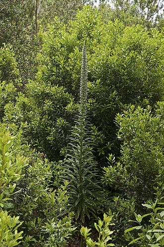Echium pininana - Image: Echium pininana LC0407