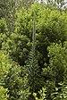 Echium pininana LC0407.jpg