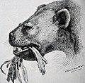 Ectoganus horsfall 1913.jpg