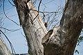 Eichhörnchen in zerstörtem Baum, Greensburg, Kansas.jpg
