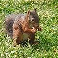 Eichhörnchen mit Walnuss 2.jpg