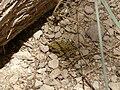Ein Akev Tahton, frog 01.jpg