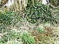 Eirlysiau-Snowdrops on the verge by Ty Newydd, Cae Hywel - geograph.org.uk - 357957.jpg