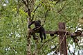 Electrocuted lion-tailed macaque infant in Valparai DSC 2565.jpg