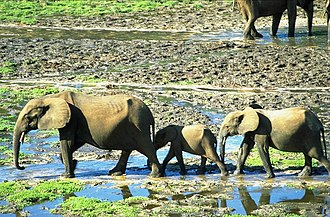 Wildlife of the Central African Republic - Forest elephants in the wetlands of saline Dzanga-Sangha.