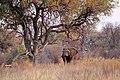 Elephant okavango (8089387441).jpg
