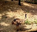 Emu at Zoo in India.jpg