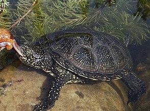 Europäische Sumpfschildkröte (Emys orbicularis),einzige in Deutschland beheimatete Schildkrötenart