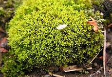 Encalypta vulgaris 2005.09.12 11.47.17-p9120009.jpg