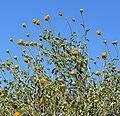 Encelia frutescens 5.jpg