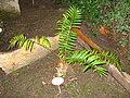 Encephalartos altensteinii - Royal Botanical Garden, Madrid.JPG