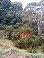 Encephalartos latifrons KirstenboshBotGard09292010A.JPG