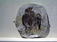 Eoenantiornis buhleri