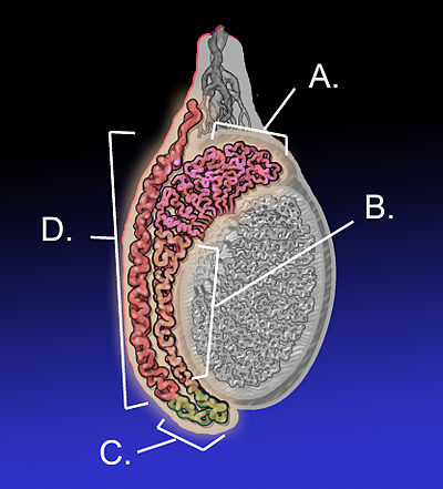 Epidídimo - Wikiwand