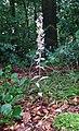 Epipactis purpurata 300705.jpg