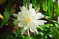 Epiphyllum oxypetalum 02.jpg