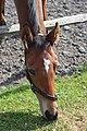 Equus caballus - 017.jpg