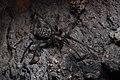 Eratigena atrica female Bytom.jpg