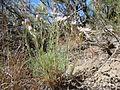 Erigeron filifolius (5036211421).jpg