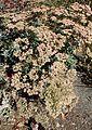 Eriogonum giganteum kz2.jpg