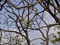 Eriolaena quinquelocularis (7197973242).jpg
