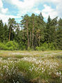 Eriophorum angustifolium - Burgwald 003.jpg