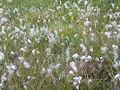 Eriophorum angustifolium scotland.jpg