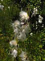 Eriophorum latifolium IMG 4476.jpg