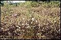 Eriophorum spissum 3-eheep (5097879968).jpg
